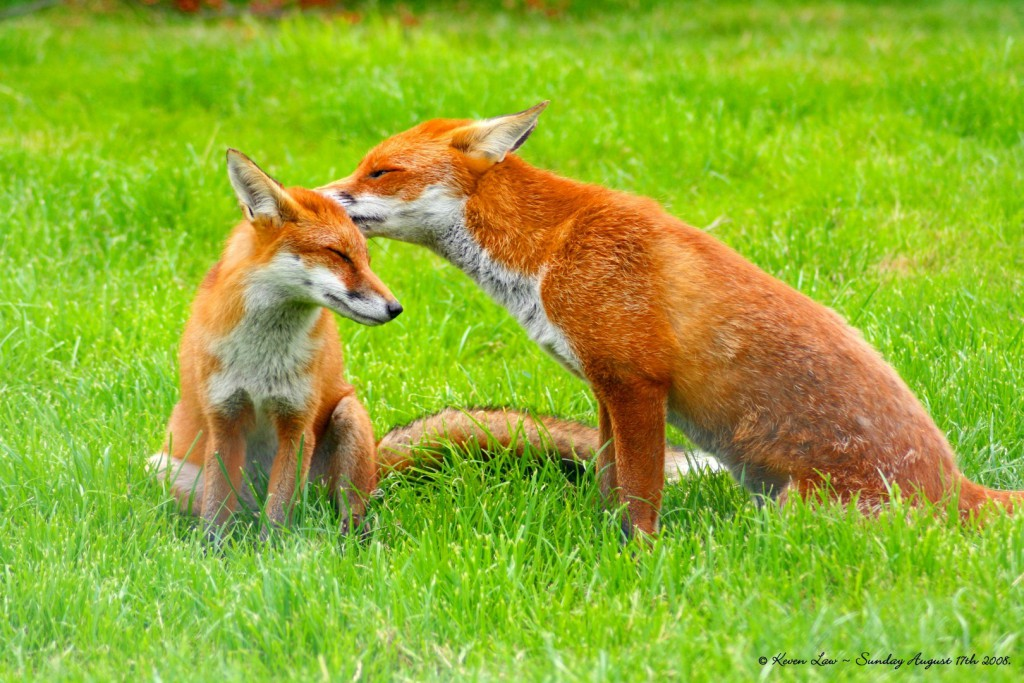 A paire of Red Foxes sitting on bright green grass with one nuzzling the other's head.