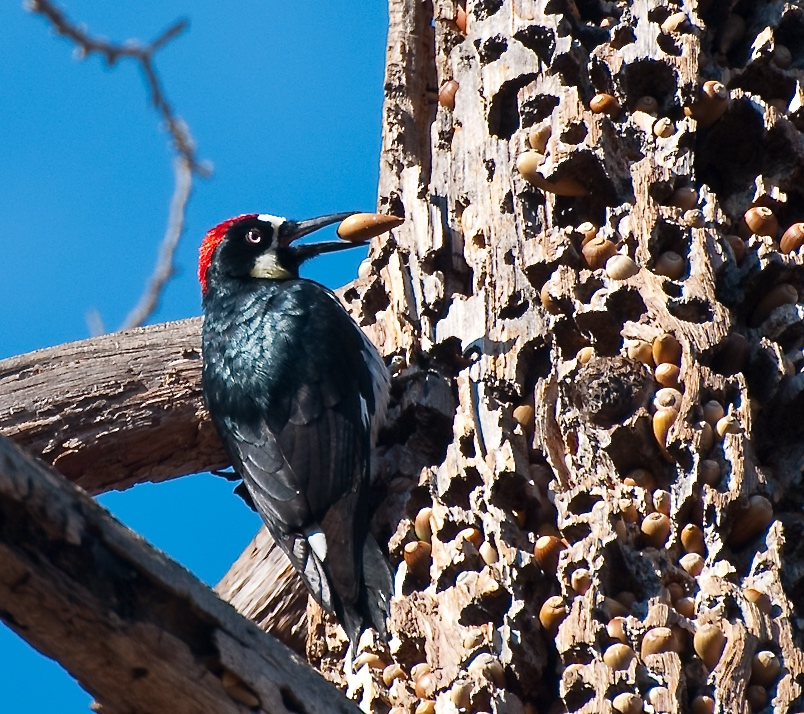 Image of a male Acorn Woodpecker clinging to a granary tree.