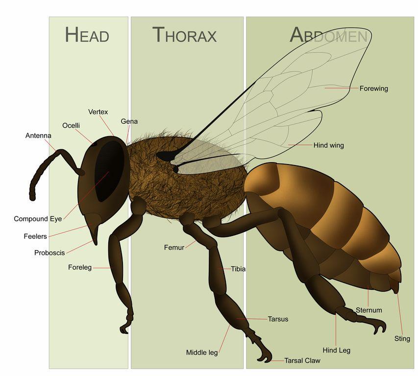 Honey bee female