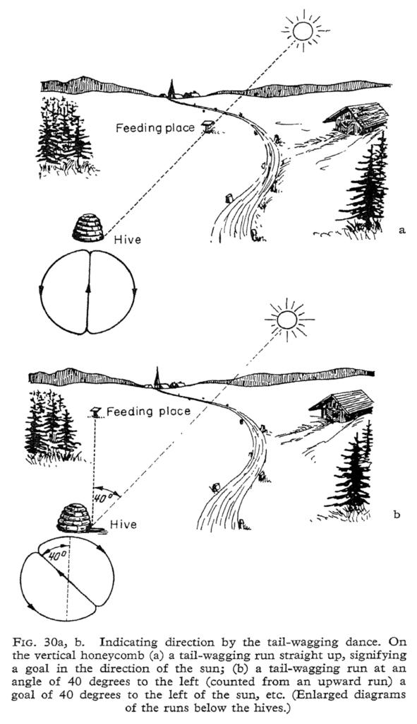 How the waggle dance conveys information. (from Erinnerungen eines Biologen, by Karl von Frisch, 1957; PD)