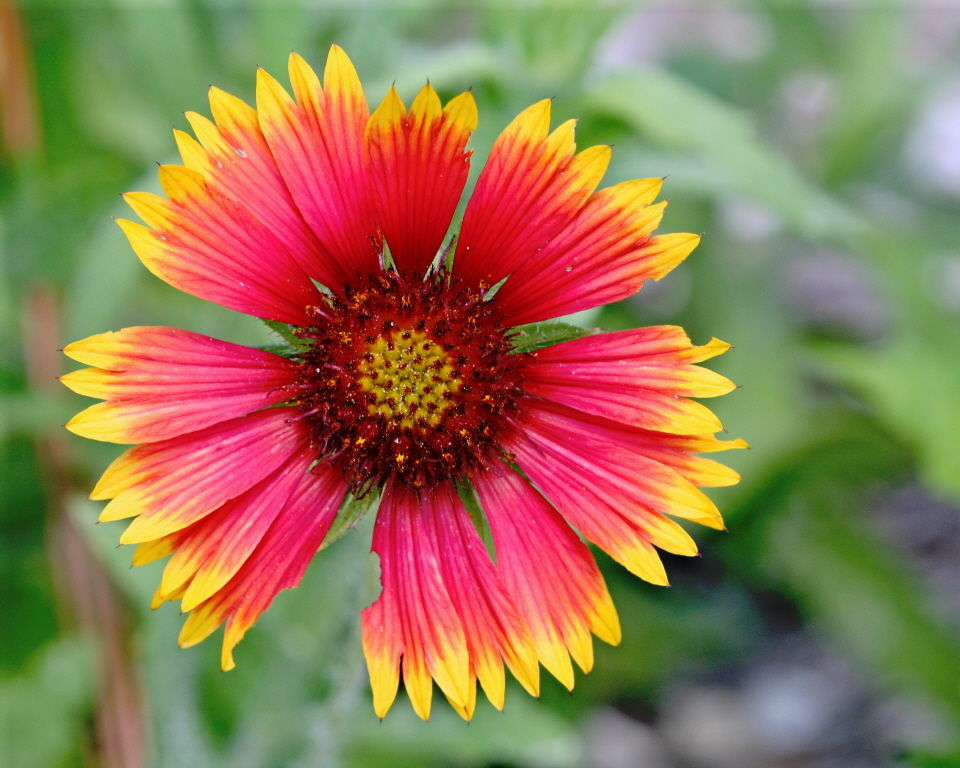 Indian Blanket (Gaillardia pulchella). Mary Keim / EOL; CC BY_NC-SA 2.0)