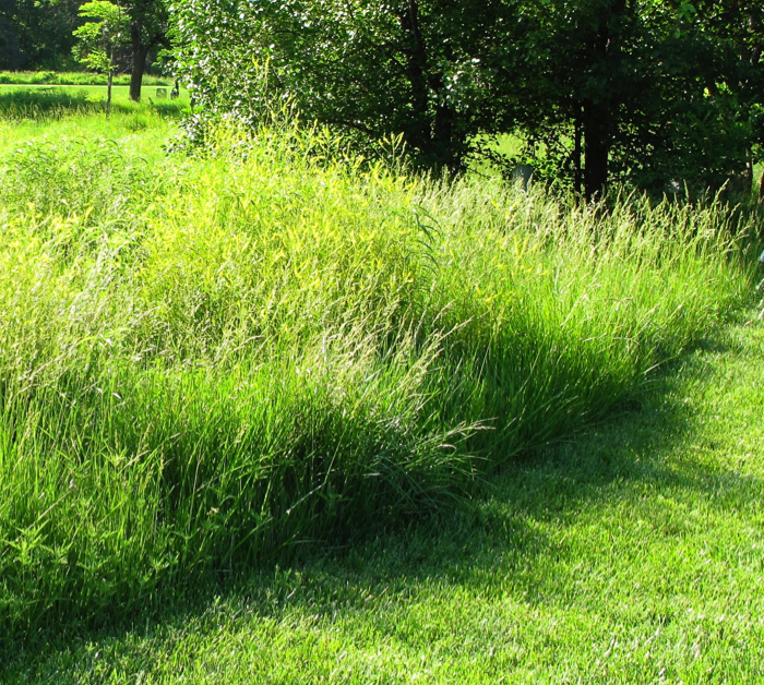 Best native grasses for a yard welcome wildlife for Decorative lawn grass