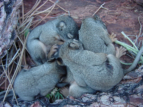 Five tiny Mearns's Squirrel babies, so-called pine squirrels, with eyes still closed, huddled together on hard-packed ground.