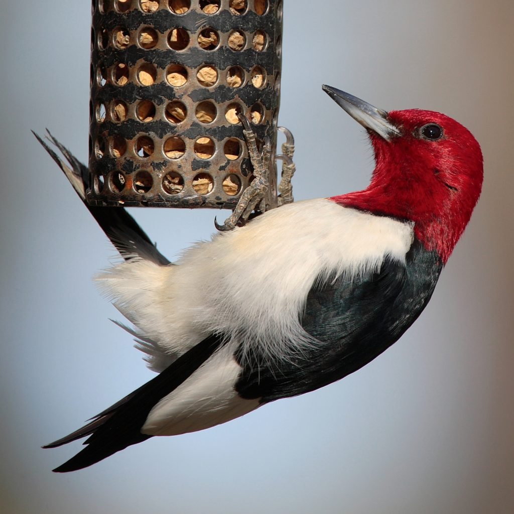 Image of a Red-headed Woodpecker clinging to a peanut feeder.