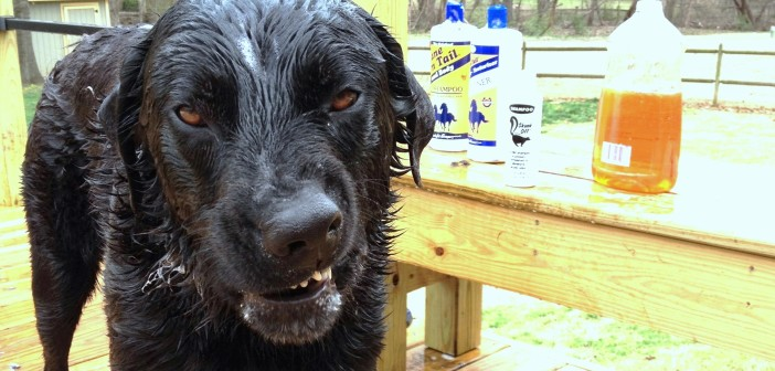 Image of a distressed dog that got sprayed by a skunk.