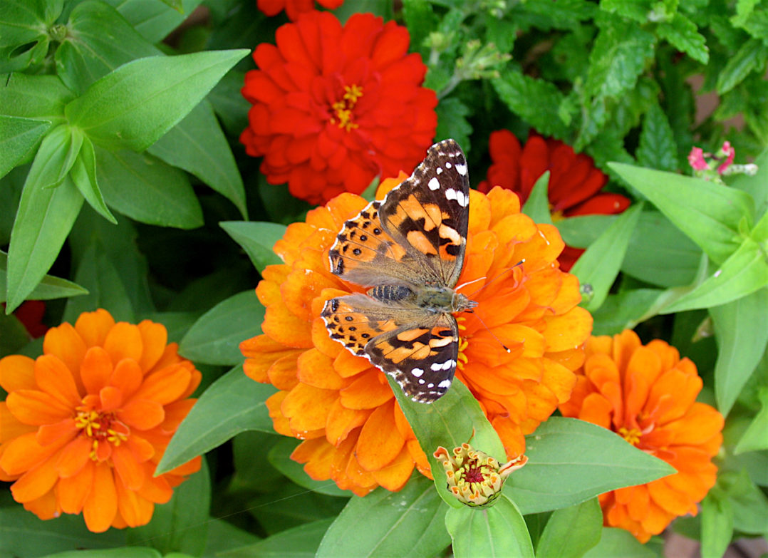 Butterfly Species And Their Host Plants Welcome Wildlife