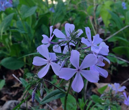 Wild Blue Phlox (Phlox divaricata). (photo: Fritz Flohr Reynolds / Flickr; CC BY-SA 2.0)