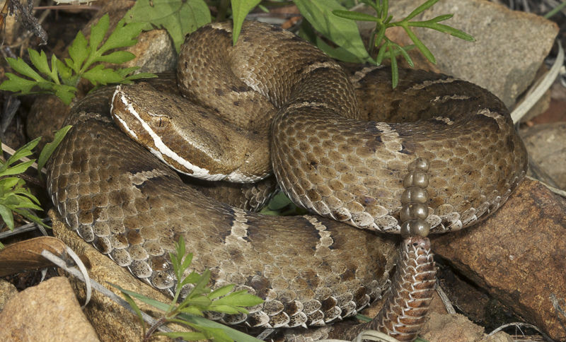 Rattlesnake repellent for yards