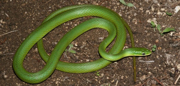Image of Rough Green Snake, Opheodrys aestivus.