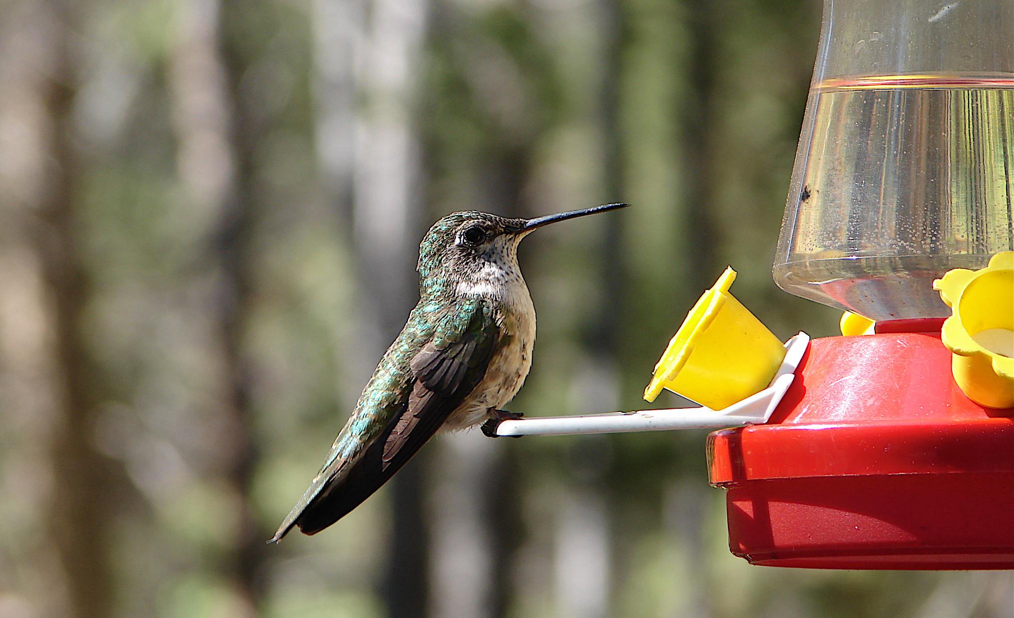 Hummingbird Nectar Recipe Food Coloring
