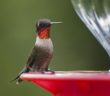 Ruby-throated hummingbird perched on a hummingbird feeder.