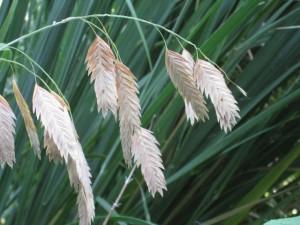 Sea oats 2