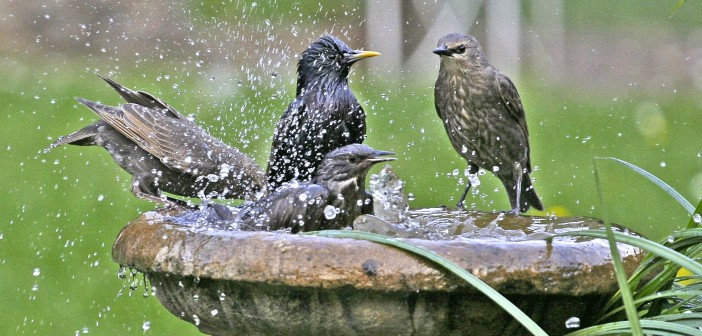 Image of three starings splashing in birdbath