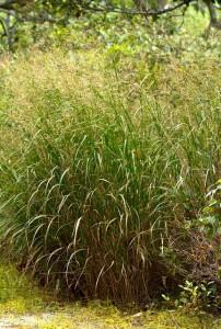 Switchgrass 2