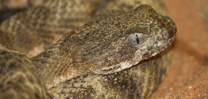 Close up image of Tiger Rattlesnake, Crotalus tigris, showing elliptical pupils.