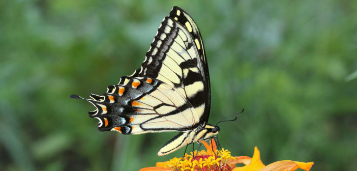 Tiger Swallowtail butterfly on a marigold.