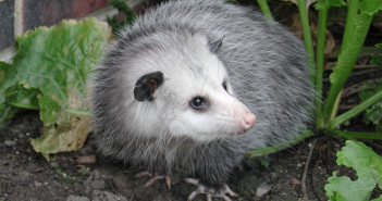 About the Virginia Opossum, a yard's ideal visitor