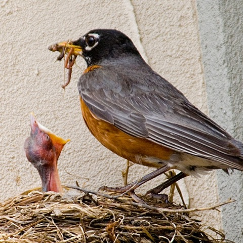 American Robin and worm