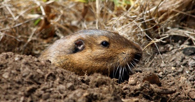 Bottas pocket gopher