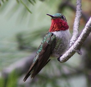 Broad-tailed Hummingbird, male. (Kati Fleming / Wiki; cc by-sa 3.0)