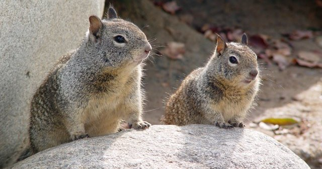 California Ground Squirrels