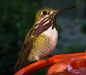 Calliope Hummingbird, male. (Rocky Raybell / Flickr; cc by 2.0)