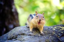 Chipmunk chattering at camera