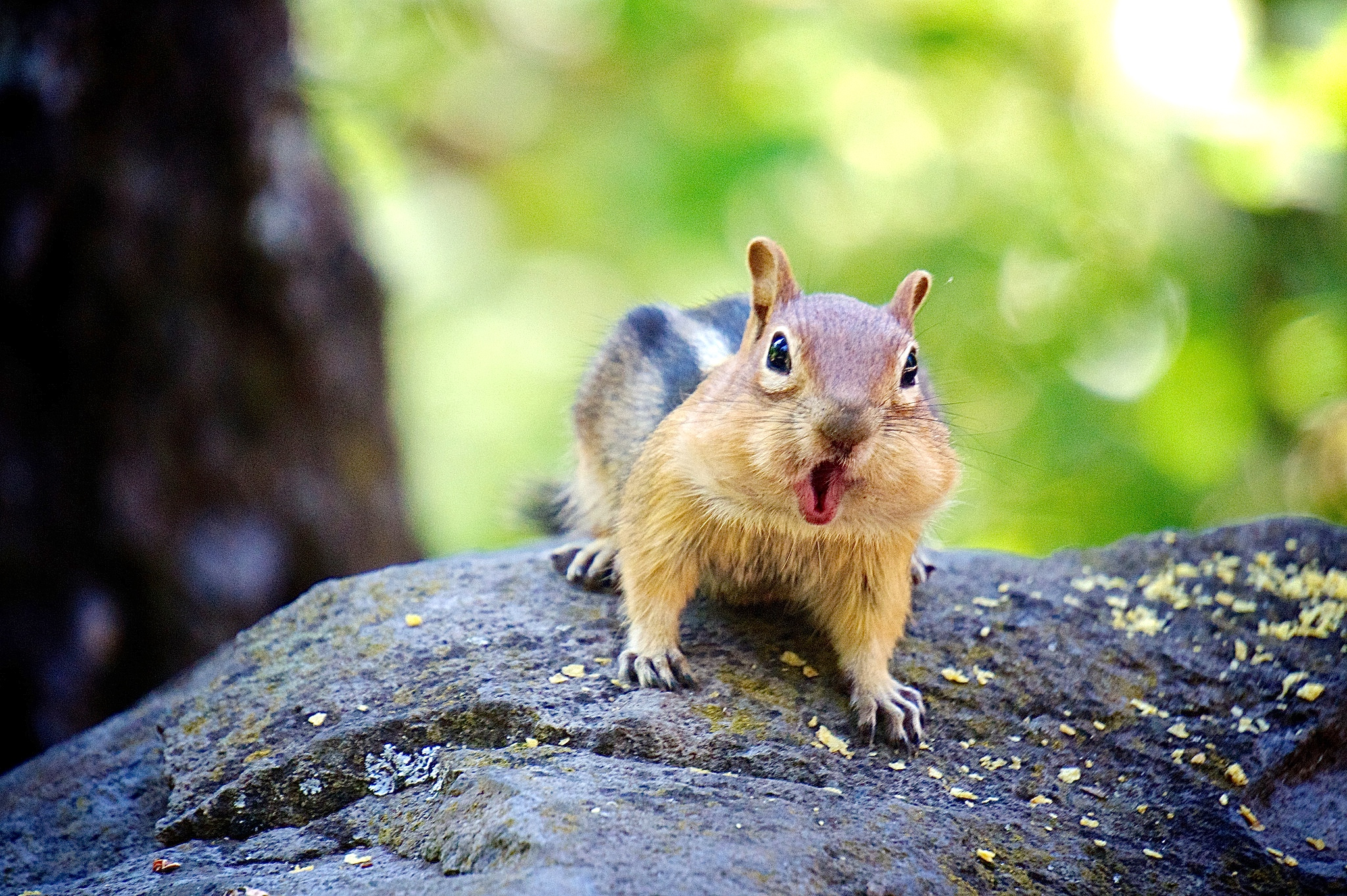 Interesting facts about ground squirrels welcome wildlife chipmunk chattering at camera sciox Images