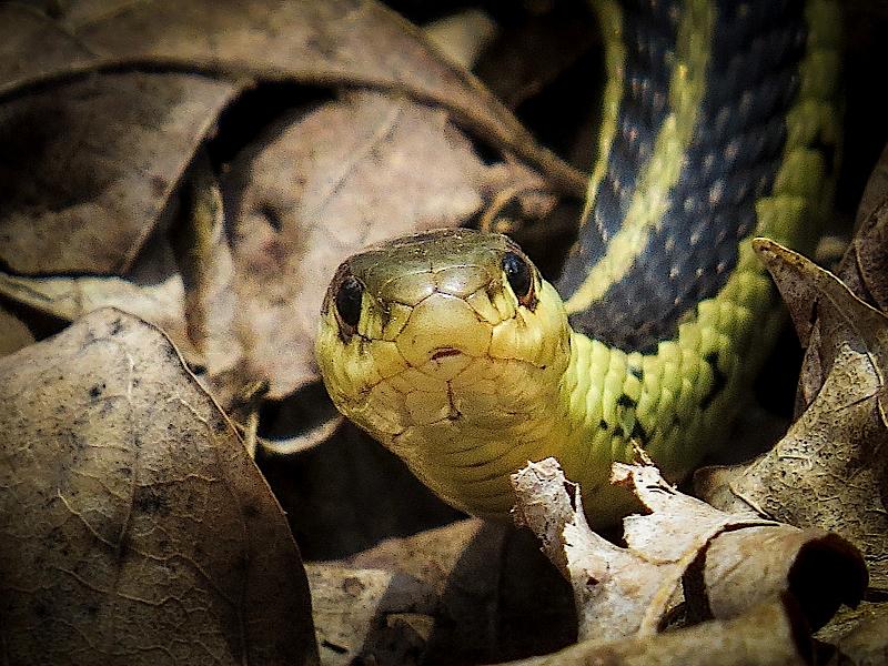 Do Garter Snakes Have Teeth or Fangs?   Garter Snake Teeth