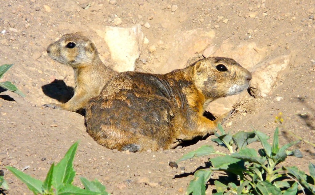 Dennison's Prairie Dog family