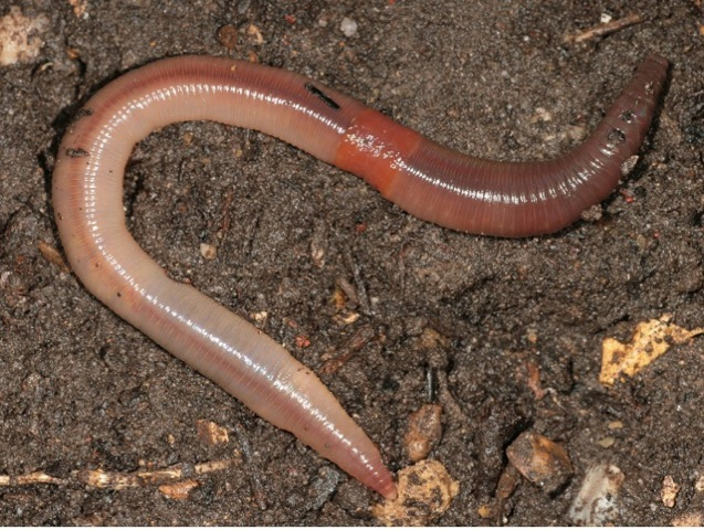 earthworms - photo #1