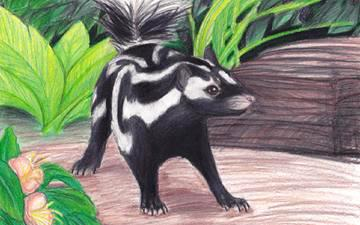 Color illustration on a playing card of an Eastern Spotted Skunk standing in front of foliage.