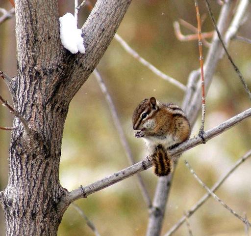 Least chipmunk welcome wildlife least chipmunk sciox Images