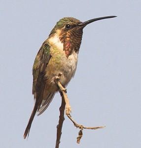 Lucifer Hummingbird, male. (Manuel Grosselet / EOL; cc by-nc 3.0)