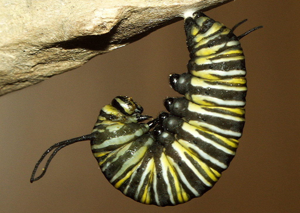 Monarch Butterfly hanging from a sticky pad and forming a J shape with its body.