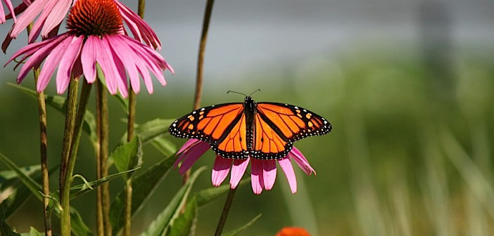 Monarch Butterfly male sitting on pink coneflower blossom.