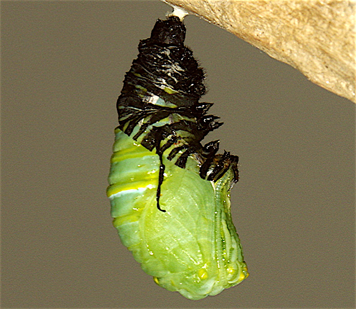 Monarch Butterfly hanging from a silky pad and has shed about half it's dark skin, revealing a green body underneath.