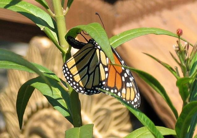 Female Monarch depositing an egg on the underside of a milkweed leaf.