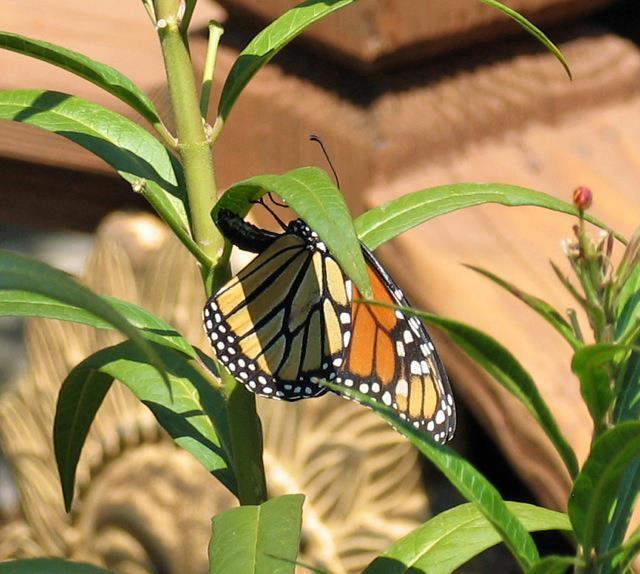 MonarchFemale