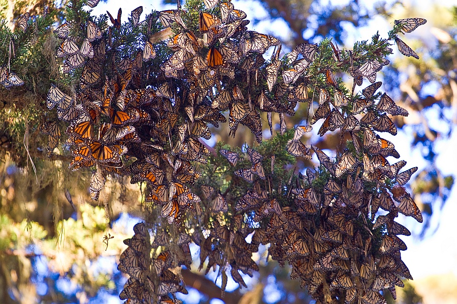 Large flock of overwintering Monarch Butterflies clinging to leaves of a Eucalyptus tree.