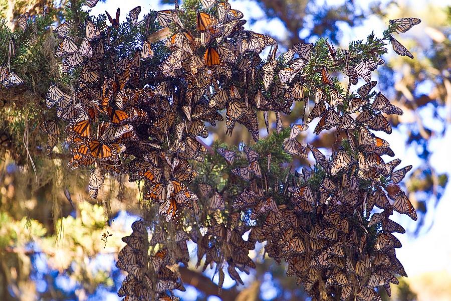 Monarchs hibernating. (Agunther / Wiki; CC BY 3.0)