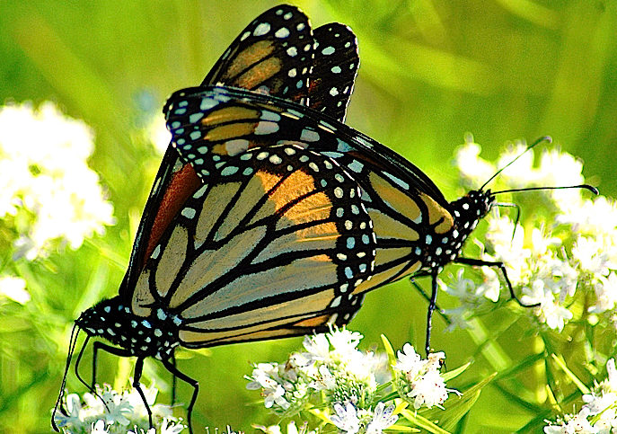 Monarch male and female mating while standing on white blossoms.