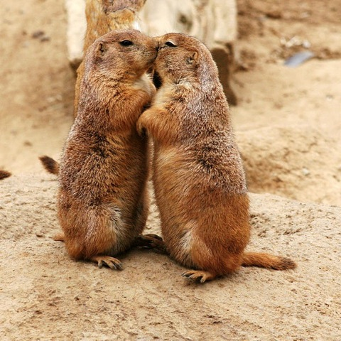 "Prairie dogs ""kissing."""