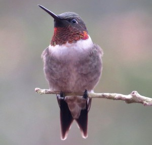 Ruby-throated hummingbird, male. (Kaaren Perry / Flickr; cc by 2.0)