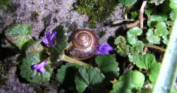 Small brown snail on green plant that has purple flowers.