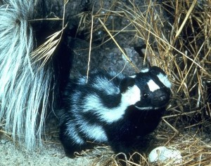 Western Spotted Skunk 1
