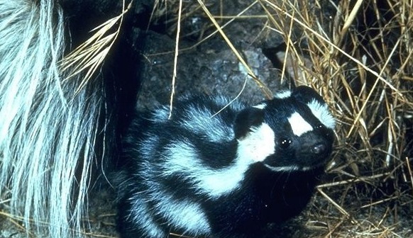 Western Spotted Skunk standing outside its den.