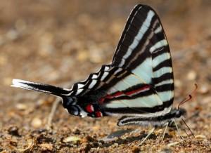 Zebra Swallowtail ventral
