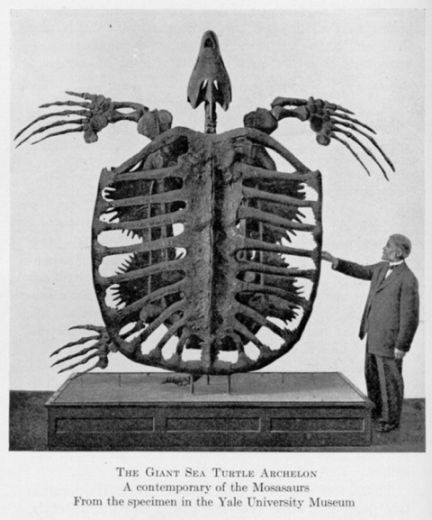 Man standing beside a Giant Cretaceous turtle fossil, more than twice his height.