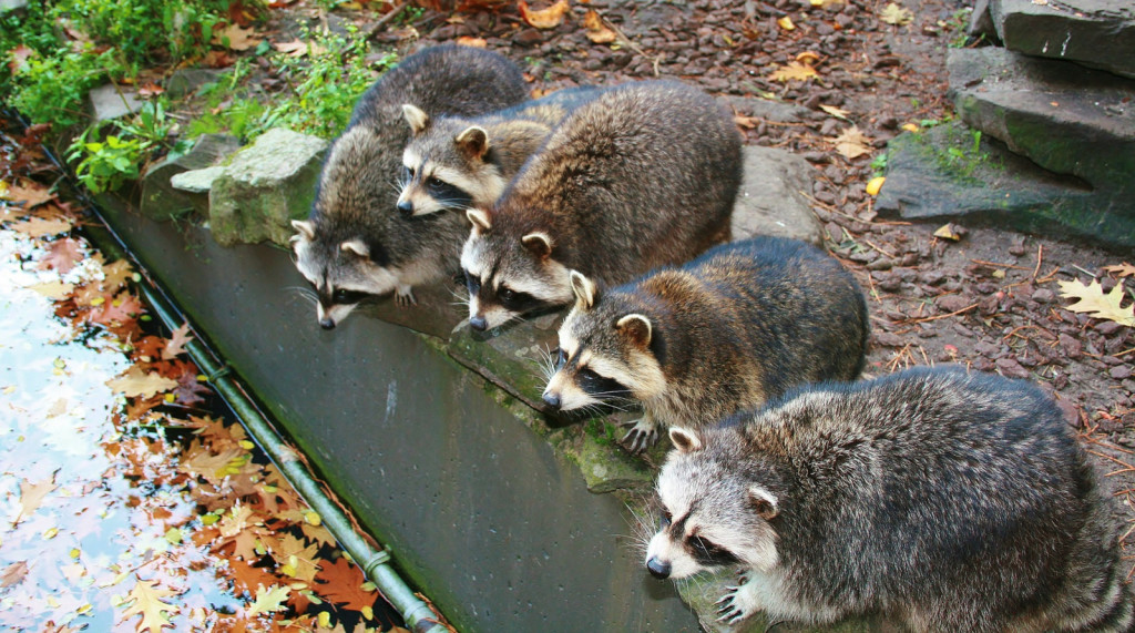Northern Raccoon Frequent Questions Welcome Wildlife